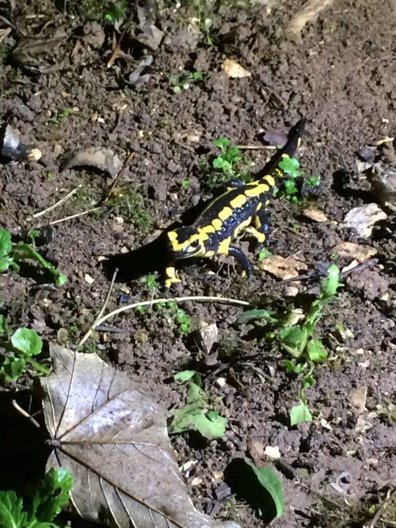 Bouysset salamander